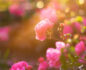 Wild pink roses on a dewy background