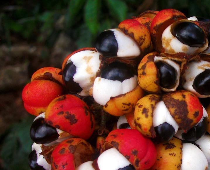 guarana superfood spotlight energy supplement natural