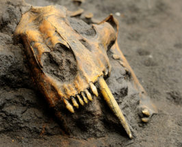 Fossilized animal head bones in a pile of dirt
