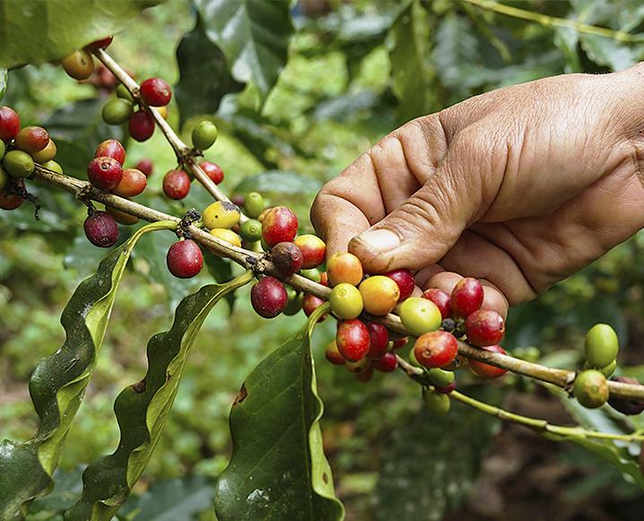 Superfood Spotlight: Green Coffee Bean Powder