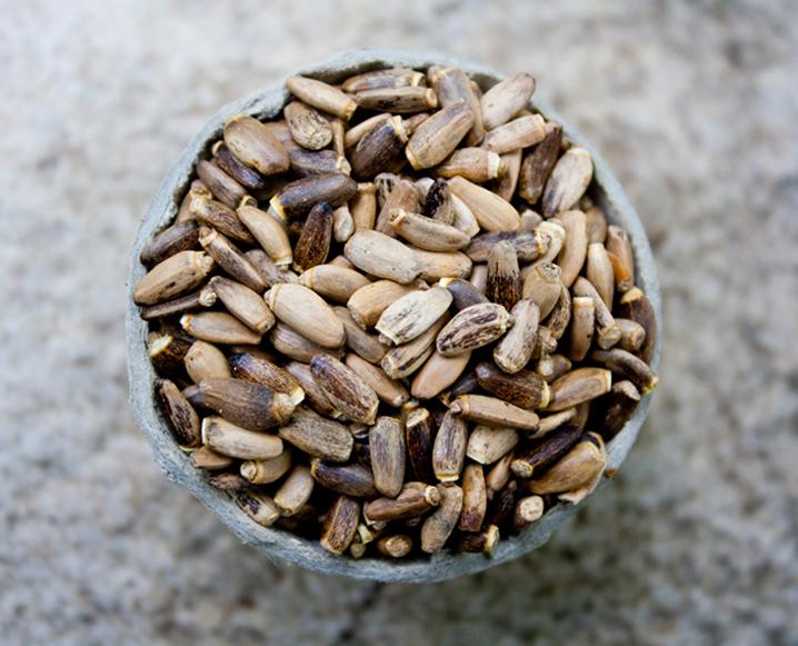 milk thistle detox herb