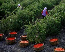 goji berry harvest