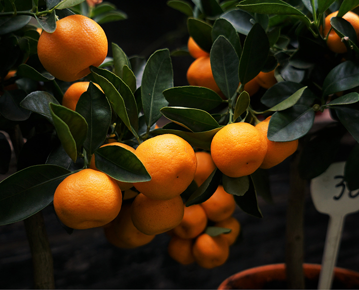 citrus fruit on tree in calabria